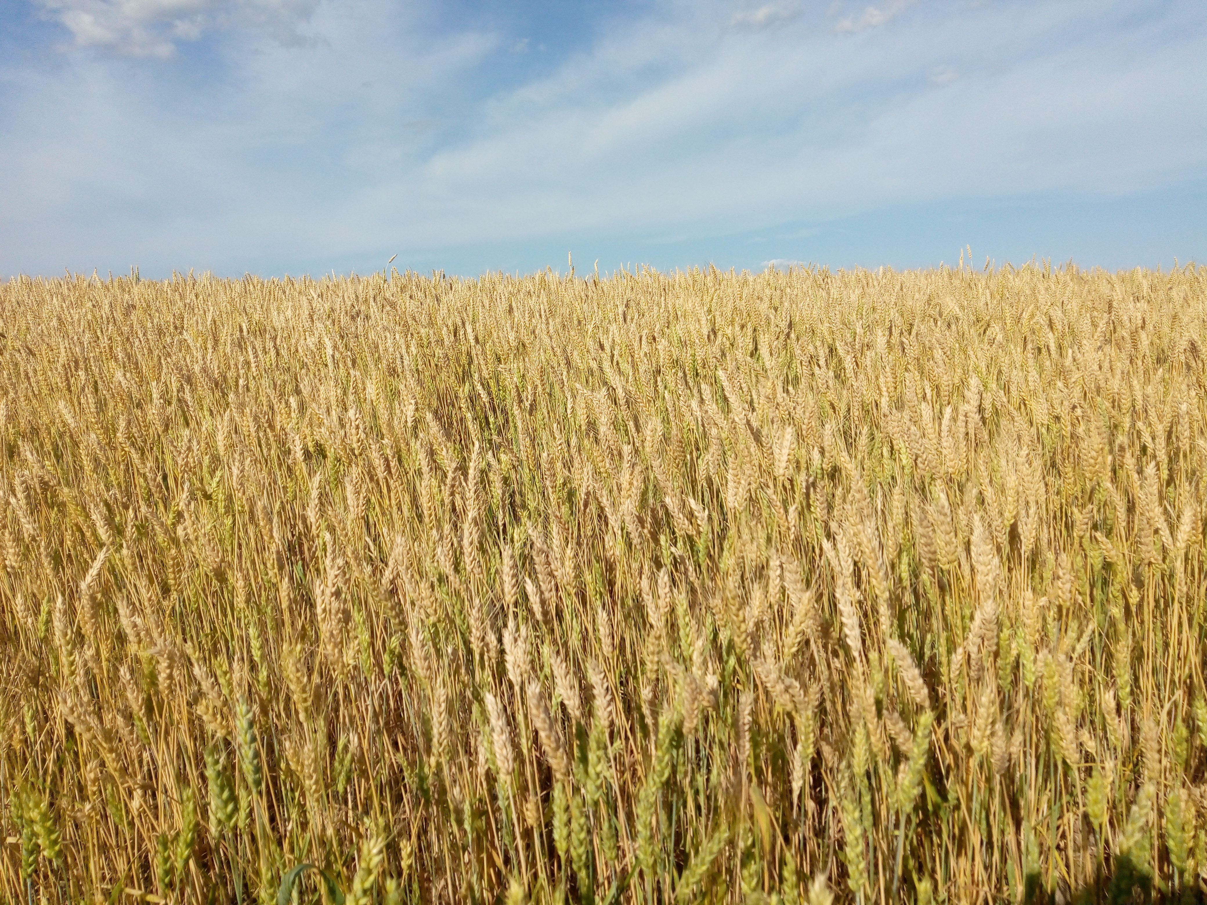 Agron 506 Agronomy of major  cereals and pulses ( 2+1)