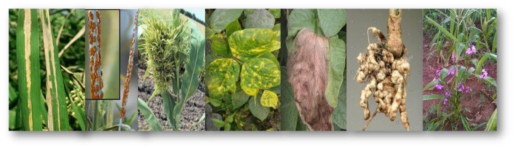 PATH 2203 - Disease of crops and their management I