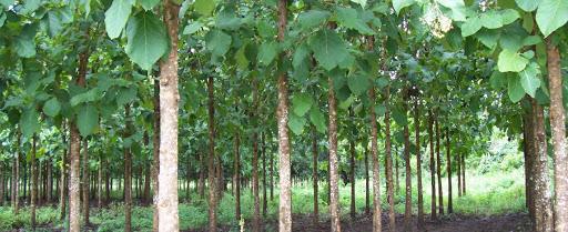 Fbti  2105 Tree Improvement 2+1